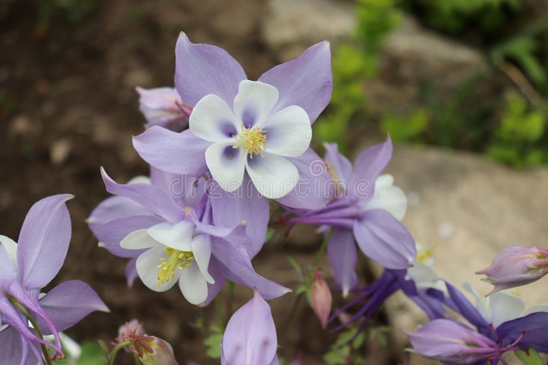 Aquilegia x hybrida Origami Columbine in the garden, known for the spurred petals of their flowers. stock photography