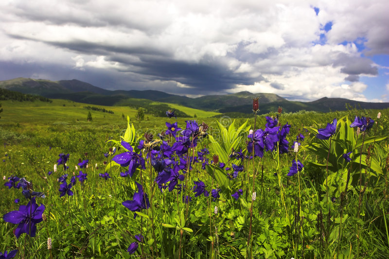 Aquilegia meadow stock image