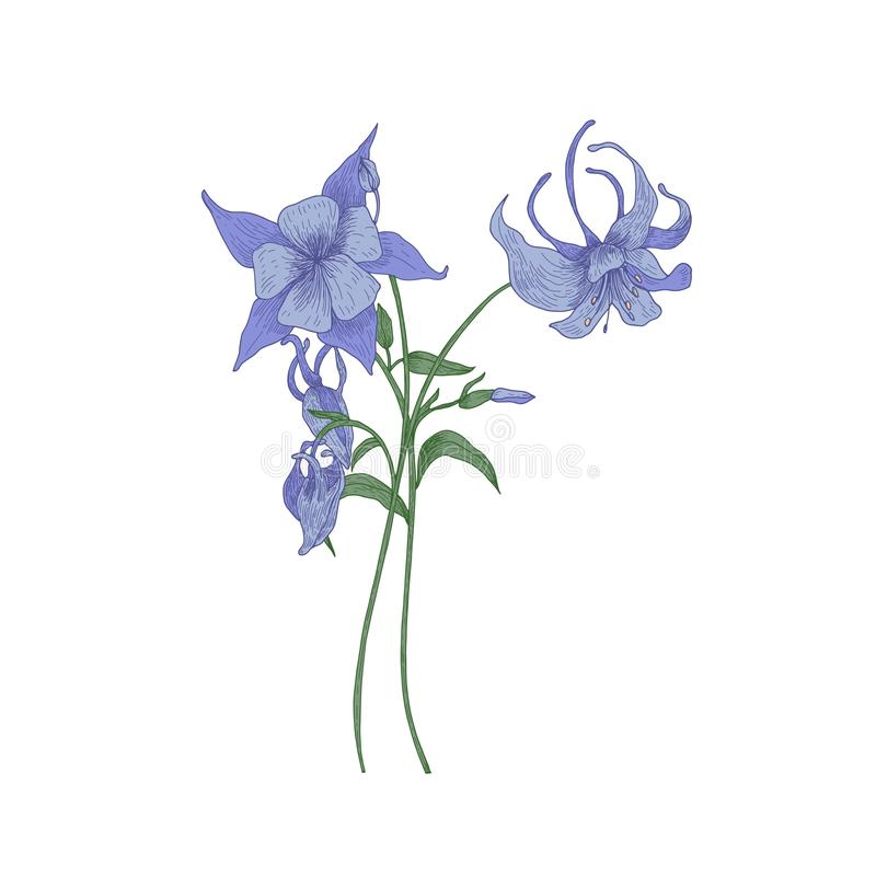 Aquilegia o fiori del cofano del ` s della nonna isolati su fondo bianco Disegno splendido della pianta o del wildflower tenera d illustrazione di stock