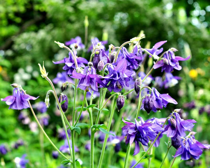 Aquilegia purple in spring garden. Blue flowers of aquilegia in natural background royalty free stock image