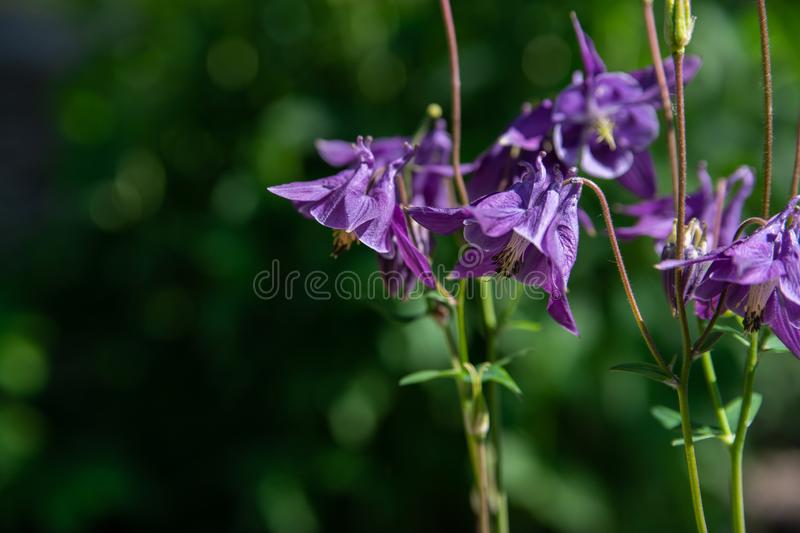 Aquilegia purple in spring garden. Blue flowers of aquilegia in natural background royalty free stock photo