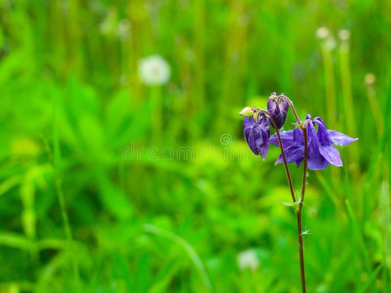 Aquilegia violet in spring garden royalty free stock photos