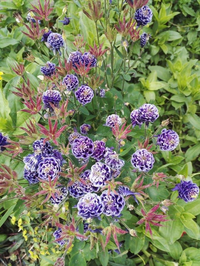 Aquilegia vulgaris `Christa Barlow`, graceful blue purple columbine stock photography