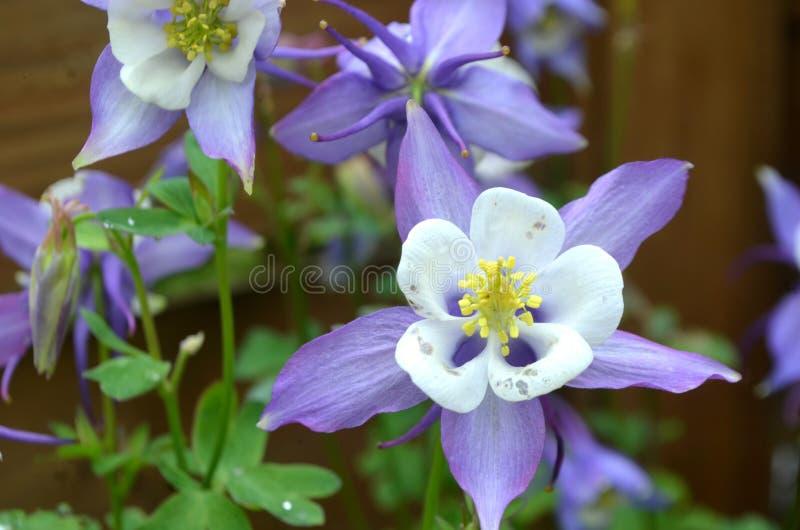 The Aquilegia vulgaris royalty free stock photography