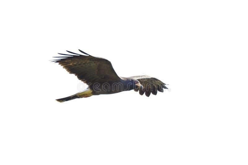 Aquilone di lumaca di volo isolato su bianco fotografia stock libera da diritti
