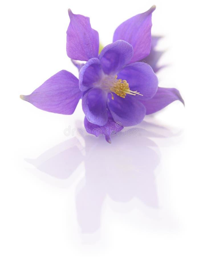 Aqvilegia flower isolated on white backround stock photo