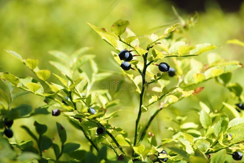 Arándano (myrtillus del Vaccinium) Arbusto con las frutas maduras foto de archivo