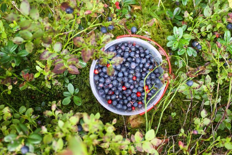 Arándano salvaje en bosque del verano fotografía de archivo libre de regalías