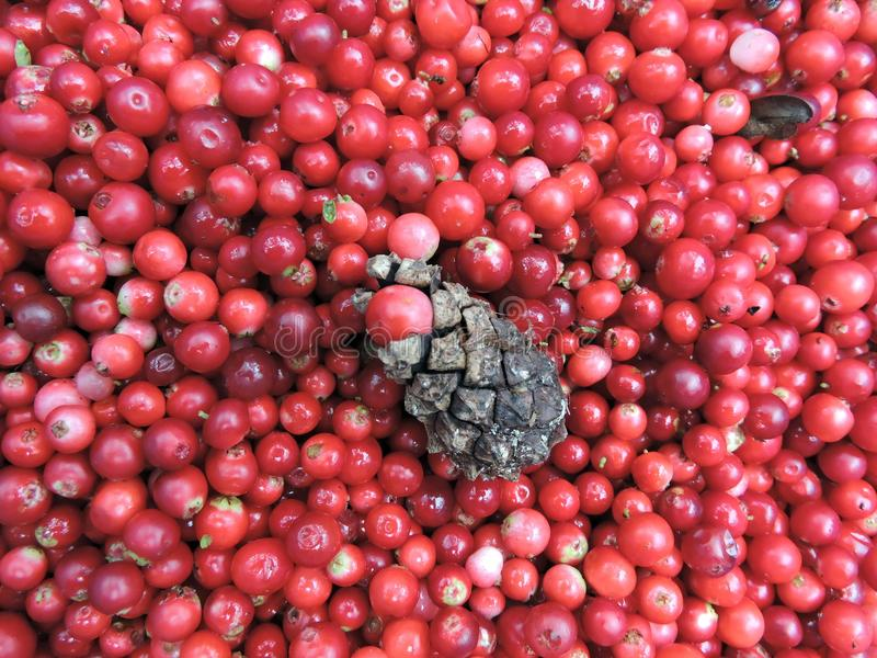 Arándano y conker maduros rojos, Lituania imagenes de archivo