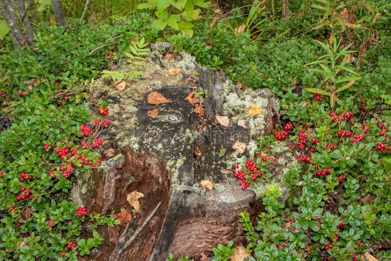 arándanos del otoño que crecen en un tocón putrefacto cubierto de musgo viejo Lingonberries rojos en el claro del bosque foto de archivo