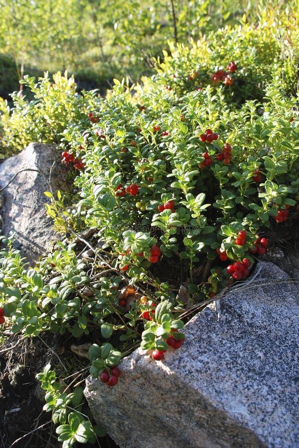 Arándanos entre las rocas de la montaña, bayas salvajes, frutas rojas, vitaminas, ventajas para la pérdida de peso imágenes de archivo libres de regalías