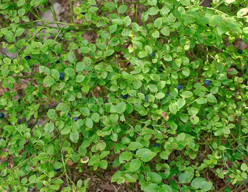 Arándanos maduros del bosque que crecen en un arbusto en el bosque fotografía de archivo libre de regalías