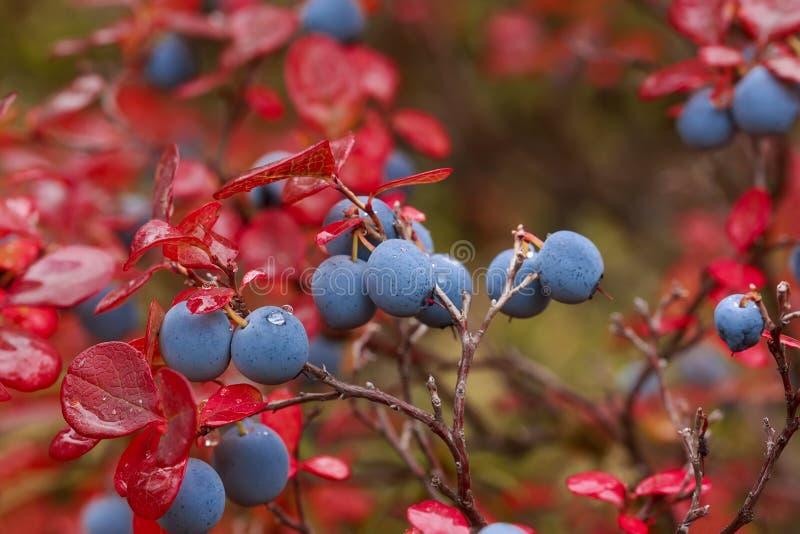 Arándanos maduros en otoño foto de archivo libre de regalías