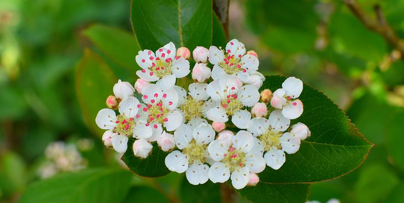Aró nia melanocà ¡ rpa is bloeiend Witte bloemen, rode stamens royalty-vrije stock afbeeldingen