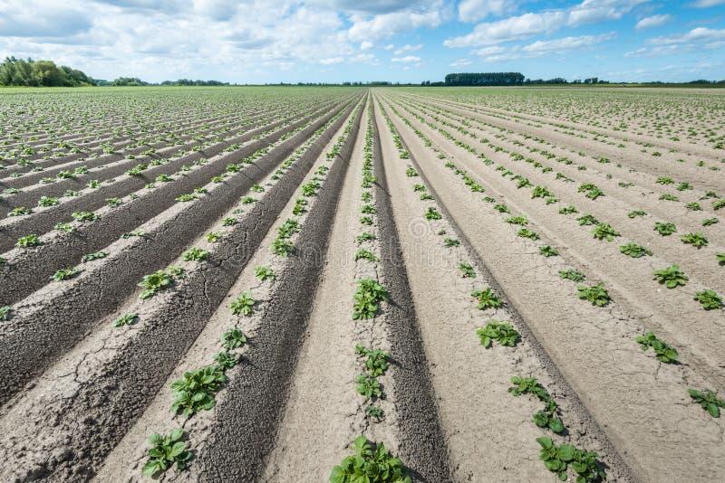 Arêtes convergentes avec de jeunes plantes de pomme de terre vertes fraîches photographie stock libre de droits