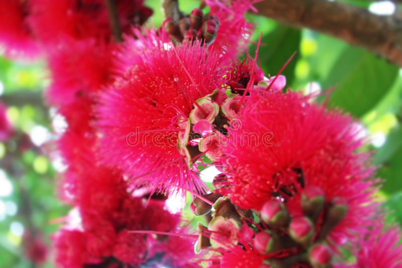 Ar do jambu do fruto da flor foto de stock royalty free