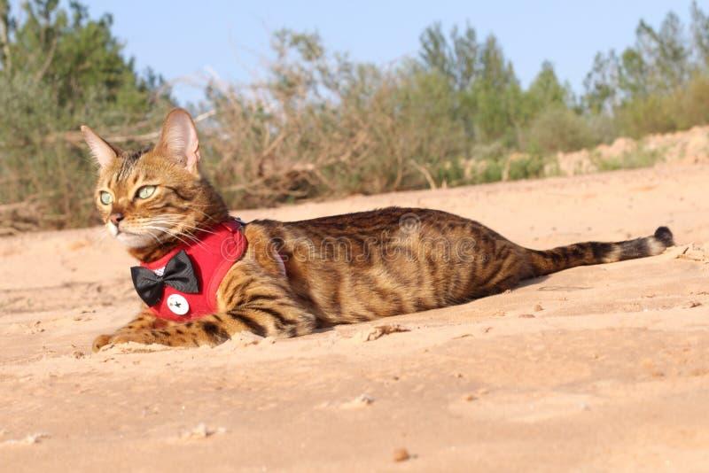 Ar livre de refrigeração vestido engraçado do gato de bengal fotos de stock