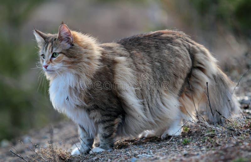 Ar livre fêmea do gato norueguês da floresta no tempo ventoso foto de stock royalty free
