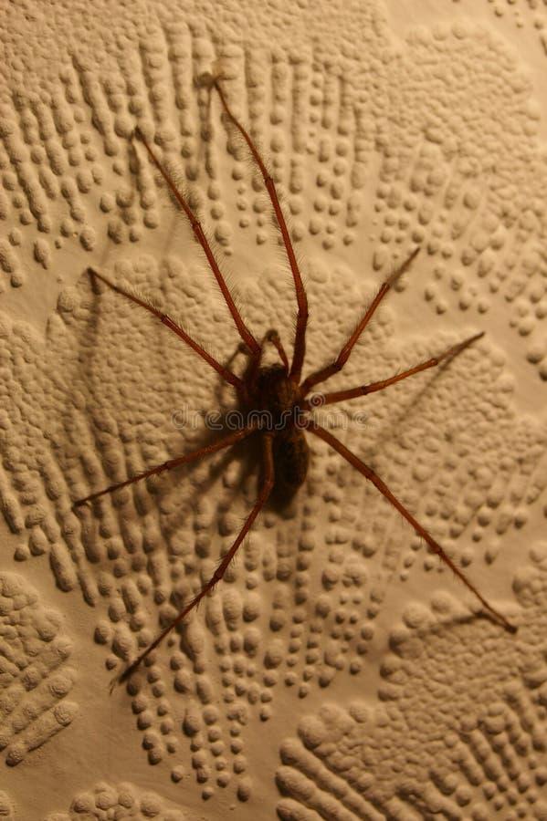 Araña 01 de la casa de Tegenaria fotos de archivo