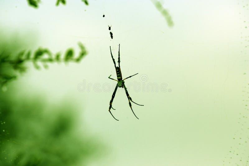 Download Araña foto de archivo. Imagen de insecto, membrana, arachnoid - 7151384
