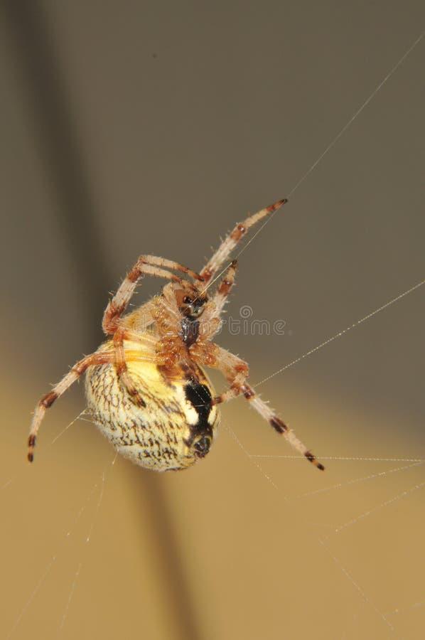 Araña amarilla fotografía de archivo libre de regalías