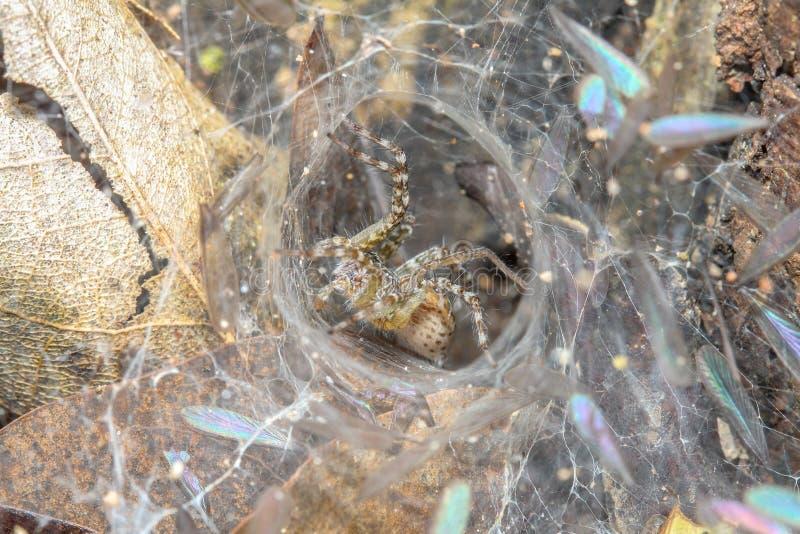 Araña ascendente cercana en la web de araña en cueva de la hoja en la naturaleza Tailandia foto de archivo