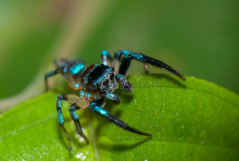 Araña azul fotografía de archivo