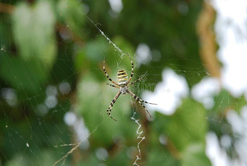 Araña bicolor foto de archivo