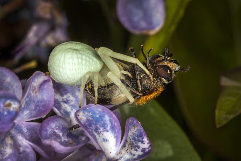Araña blanca del cangrejo con una abeja fotos de archivo