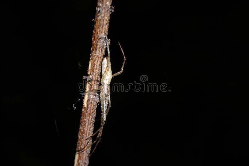 Araña (bruennichi del Argiope) imágenes de archivo libres de regalías