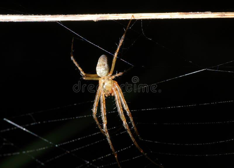 Araña (bruennichi del Argiope) fotos de archivo