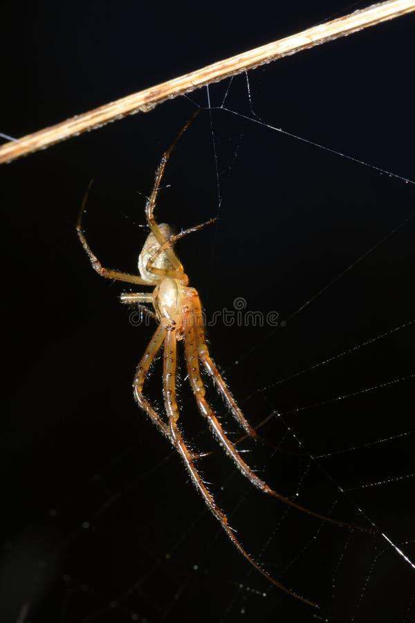 Araña (bruennichi del Argiope) foto de archivo