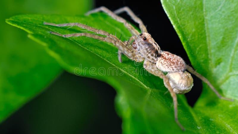 Araña común de la hierba fotos de archivo