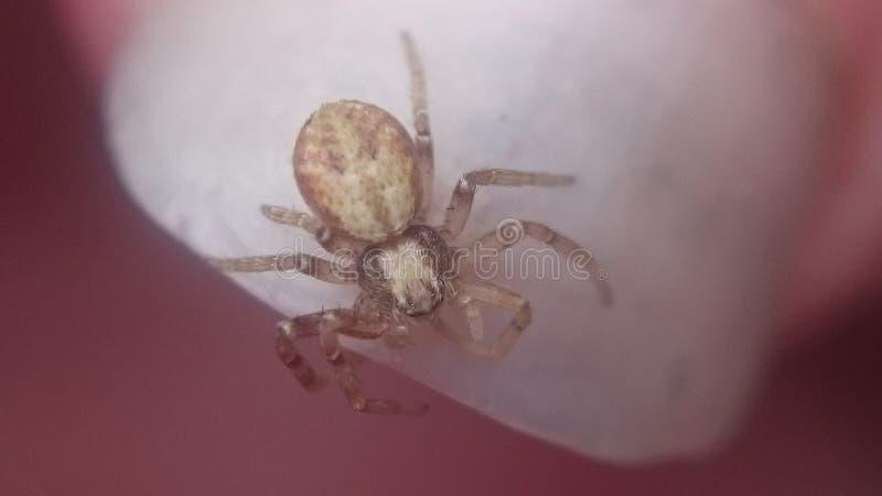 Araña corriente del cangrejo imagenes de archivo