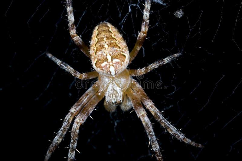 Araña cruzada imagenes de archivo