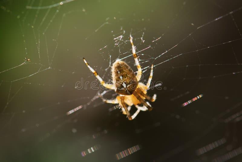 Araña cruzada del jardín en el spiderweb fotos de archivo