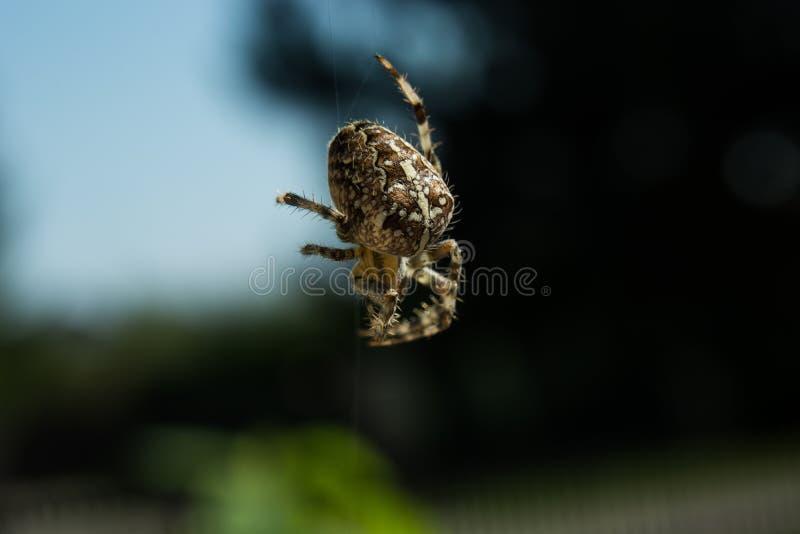 Araña cruzada del jardín en spiderweb fotografía de archivo libre de regalías