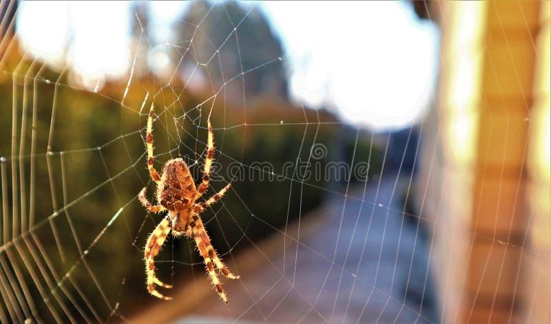 Araña cruzada europea en el web foto de archivo libre de regalías
