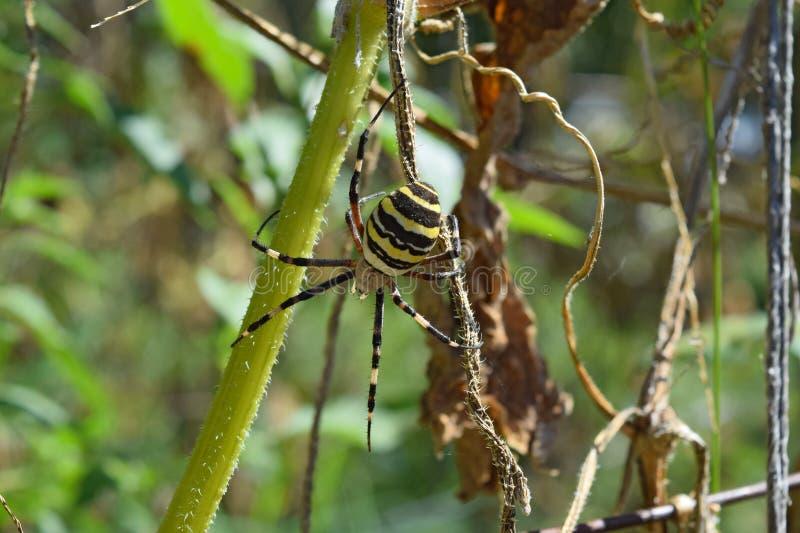 Araña de Argiopa que se arrastra en la hierba seca fotografía de archivo libre de regalías