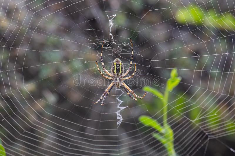 Araña de Audouin del Argiope en puesta del sol imagen de archivo