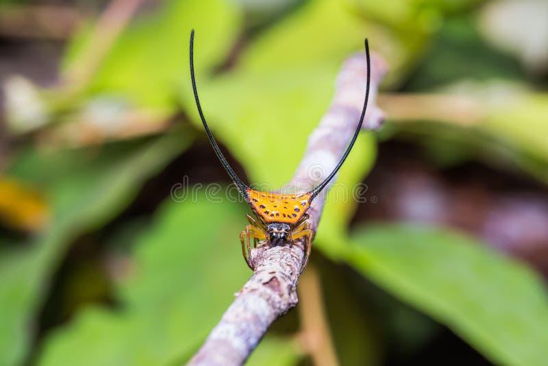 Araña de cuernos largos del Orbe-tejedor imágenes de archivo libres de regalías