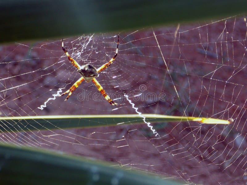 Araña de jardín de plata foto de archivo libre de regalías
