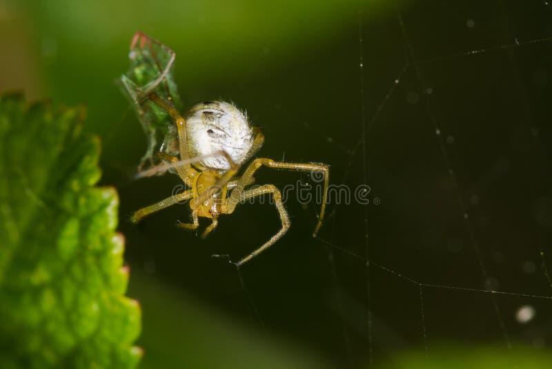 Araña de jardín en el web imagen de archivo libre de regalías