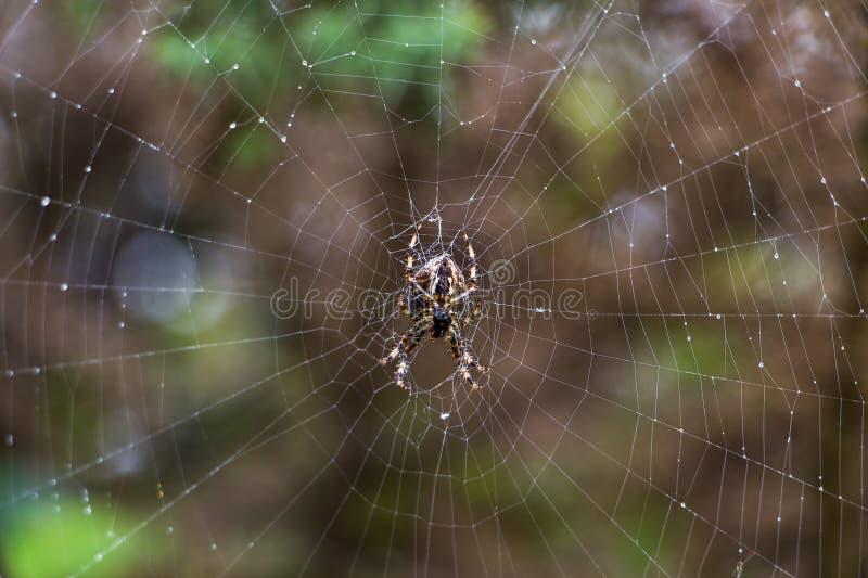 Araña de jardín en spiderweb imagenes de archivo