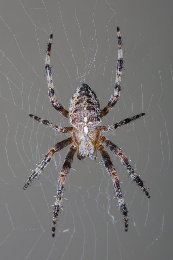 Araña de jardín en su web fotos de archivo libres de regalías