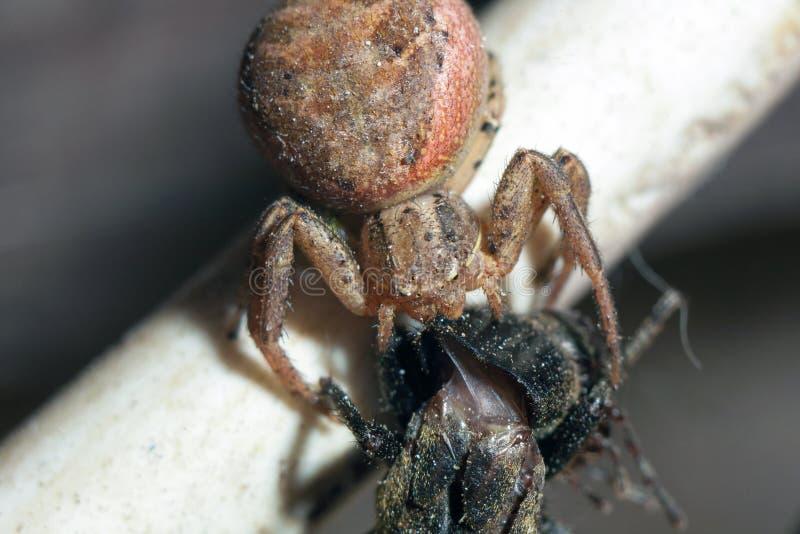 Araña de jardín europea que come su presa foto de archivo libre de regalías