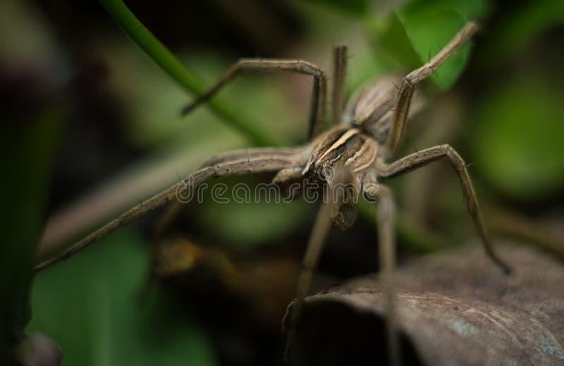 Araña de jardín gris hermosa imagenes de archivo