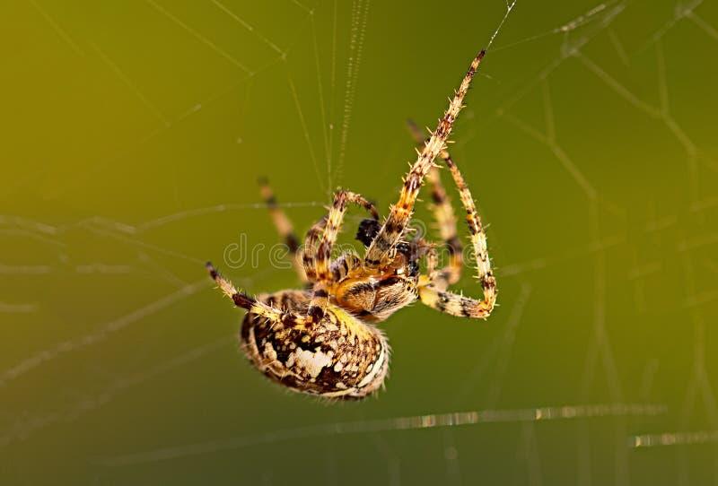 Araña de jardín o Orbe-tejedor europea de la cruz que come una mosca capturada imagenes de archivo