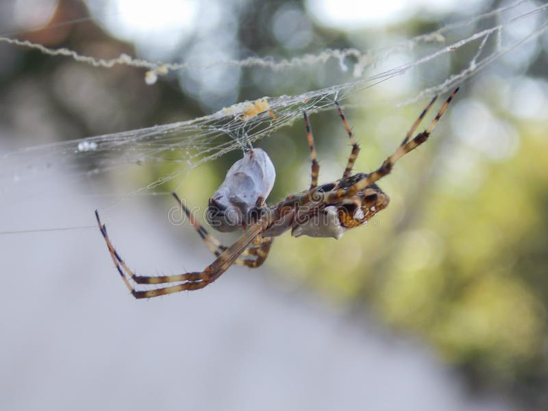 Araña de jardín y su presa imagen de archivo libre de regalías