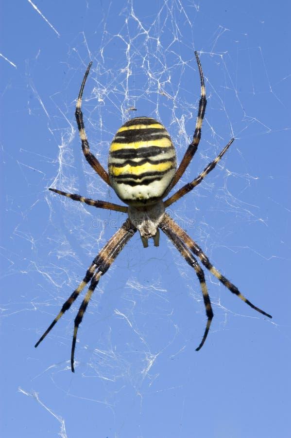Araña de la avispa imagen de archivo libre de regalías
